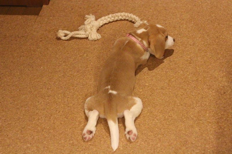 ロープのおもちゃを噛む花豆