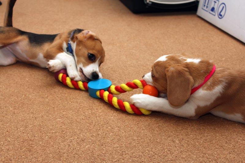 新しいおもちゃを二人で噛み噛み