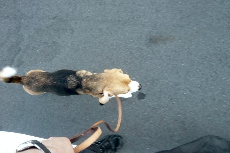 イージーウォークハーネスをつけた空豆と歩く
