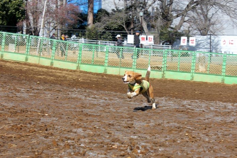 泥のドッグランを疾走する空豆