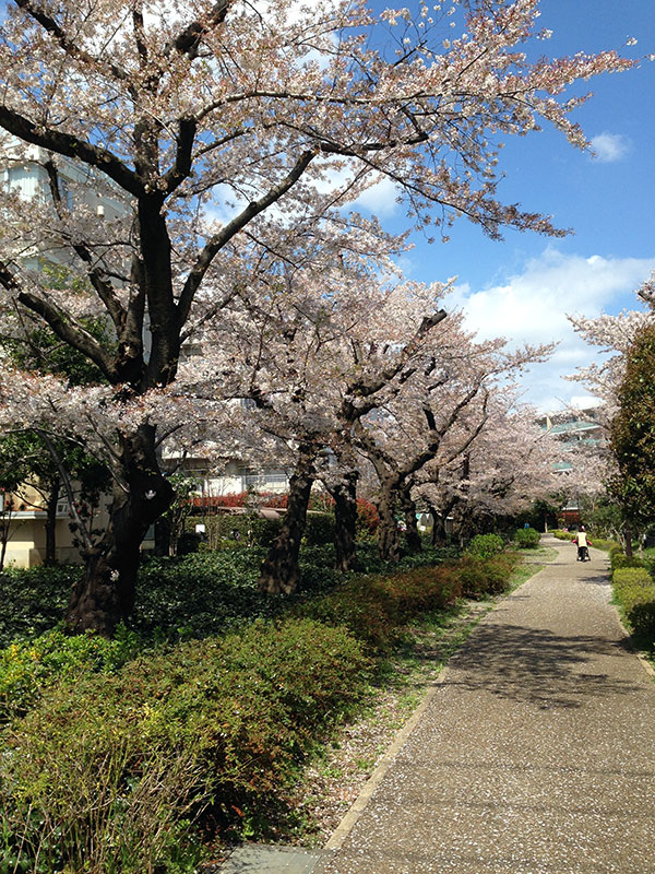 散りかける桜の並木