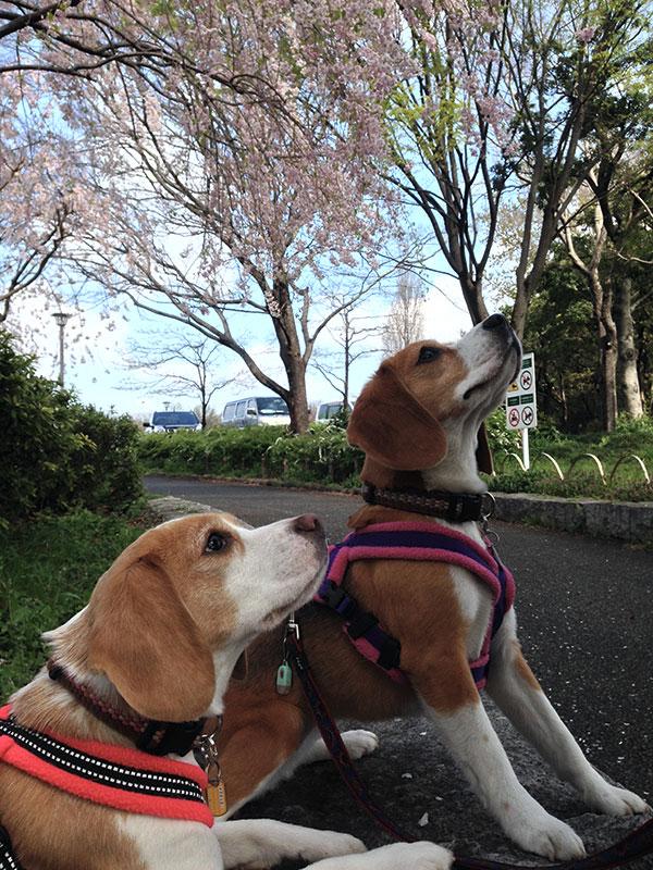 桜を見上げる空豆と花豆