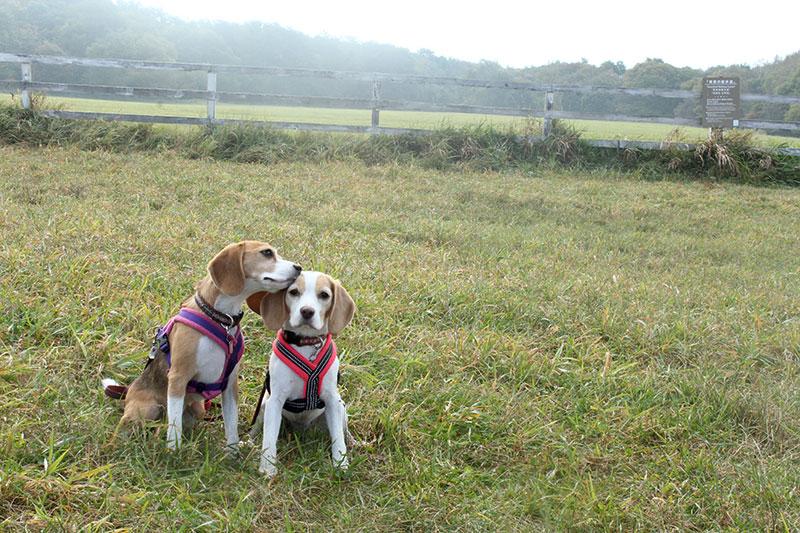 草原とビーグル姉妹