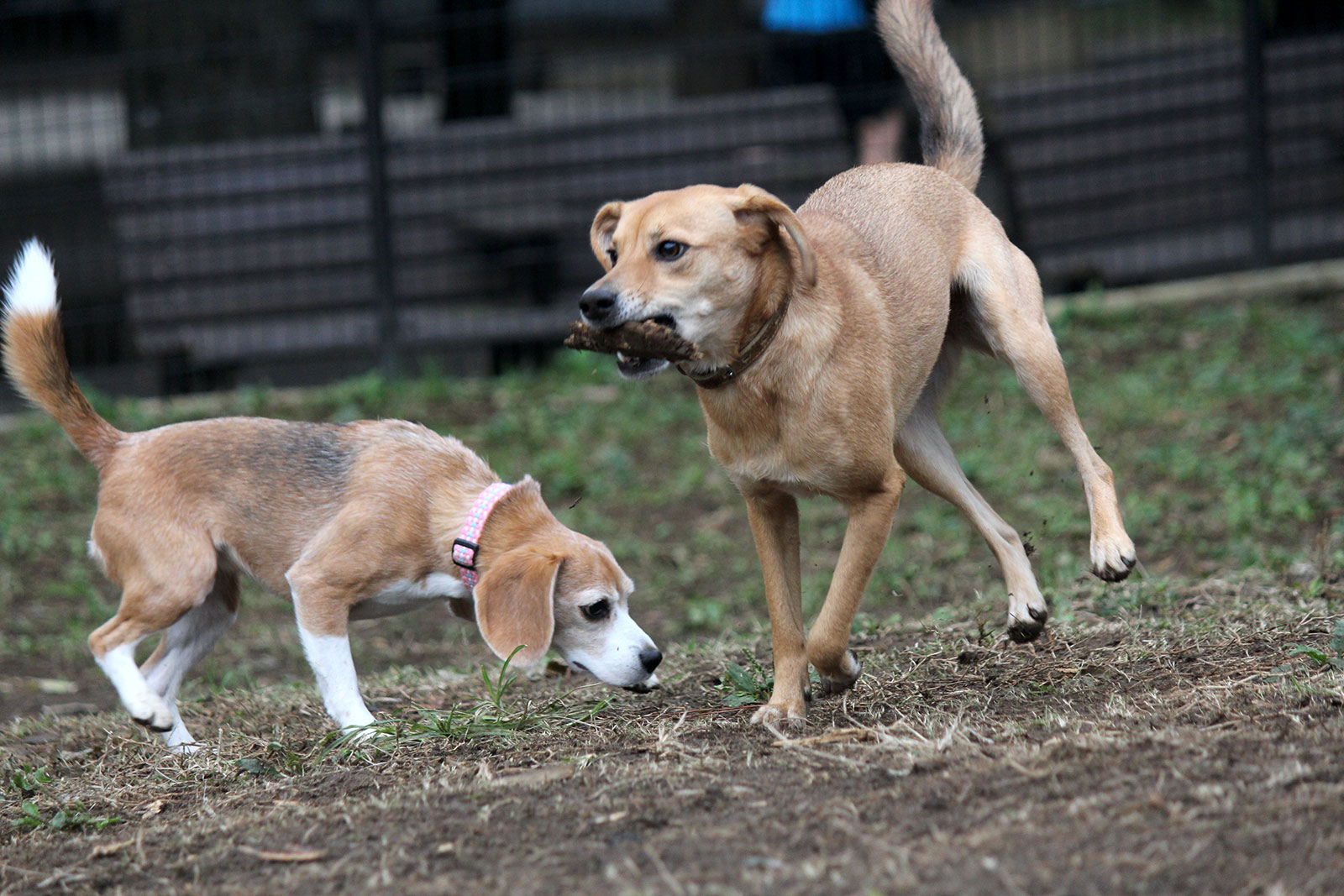 ダートなフィールドで走り回る犬たち