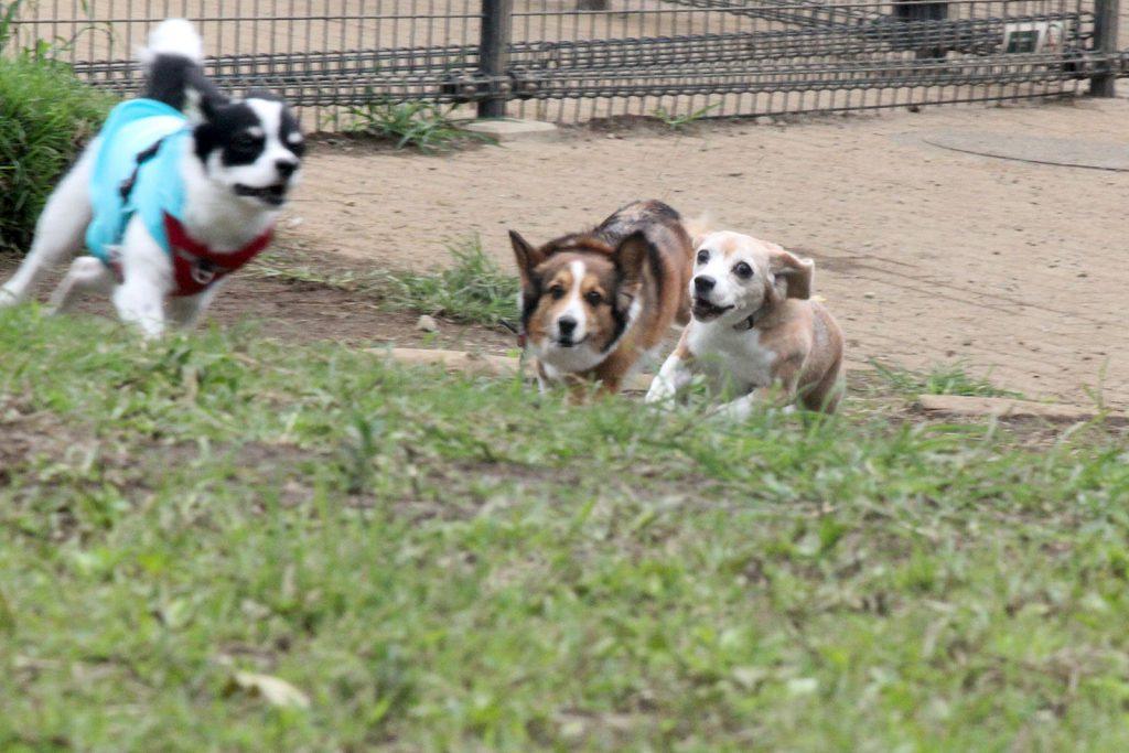 競争する犬たち